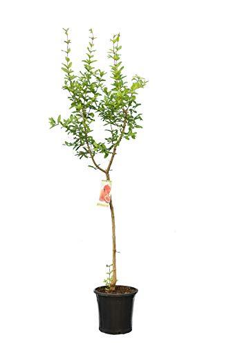 Punica granatum Dente di Cavallo - Winterharter Granatapfelbaum - verschiedene...
