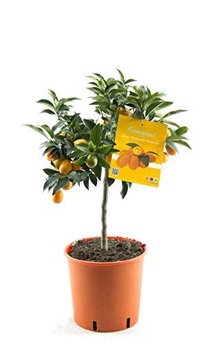 Kumquat mit Frucht Fortunella margarita Citrus Zitrus 80 cm Zitruspflanze
