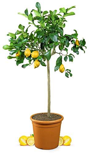 Meine Orangerie Zitronenbaum Grande - echter Citrusbaum - 110 bis 140 cm -...