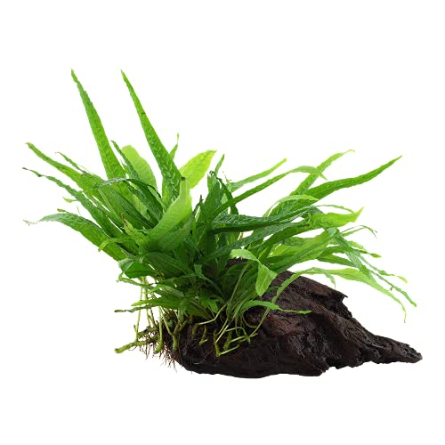 Aquarium Pflanze Microsorum pteropus 'Narrow' Javafarn Wasserpflanze auf Wurzel...