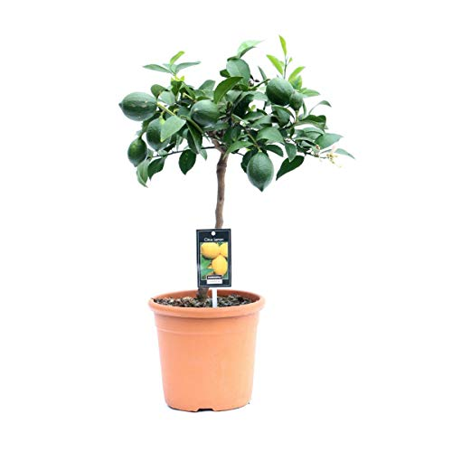 Zitronenbaum Meyer -Lisa- 70-80 cm mit kleinen Früchten Citrus Meyer Lemon