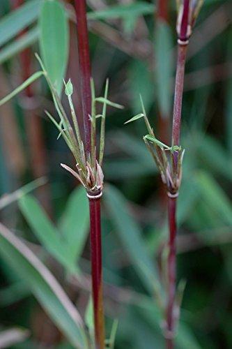 Roter-Bambus Fargesia jiuzhaigou winterhart und schnell-wachsend (80/100 cm...