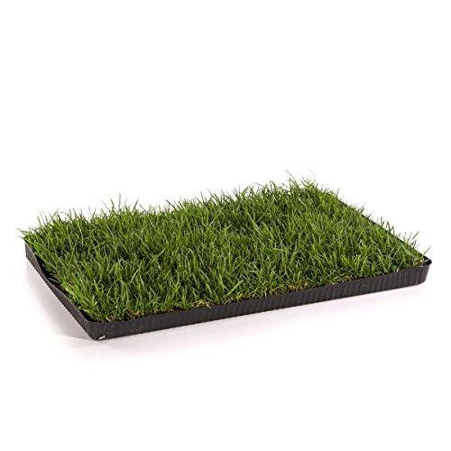 MIAU KATZENGRAS | 60x40cm echtes, saftiges Gras | sofort nutzbar - kein aussäen...