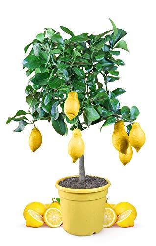 Meine Orangerie Zitronenbaum Mezzo - echter Citrusbaum - 70 bis 100 cm -...