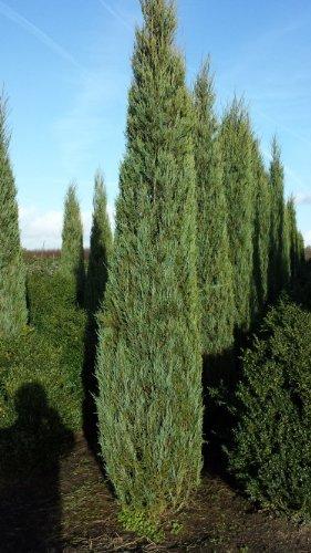 blauer Raketen Wacholder Juniperus scopulorum Blue Arrow 50-60 cm hoch im 4...
