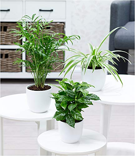BALDUR-Garten Zimmerpflanzen-Mix'Tropic', 3 Pflanzen je 1 Bergpalme, Echte...