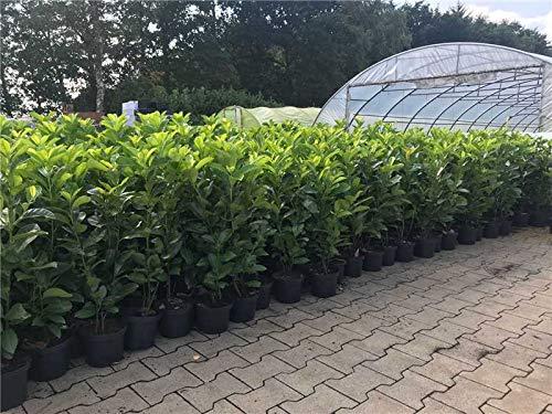 Kirschlorbeer Heckenpflanzen immergrün Sichtschutz Prunus lauroc.'Novita' im...