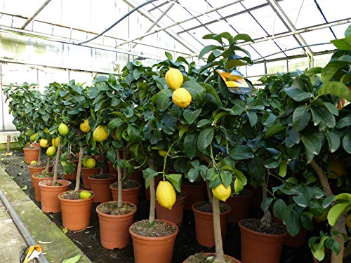 Grünwaren: echter Zitronenbaum 60-90 cm Zitrone Citrus Limon Zitruspflanze