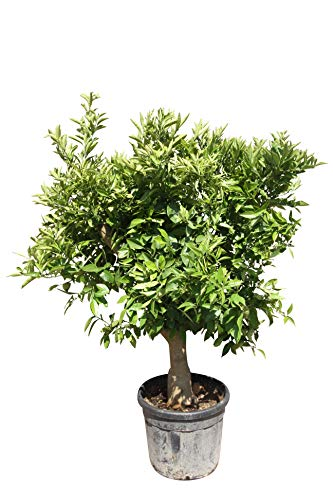 Citrus Sinensis XXL - 190cm - Orangenbaum - Zitrus - stammumfang 20/30cm