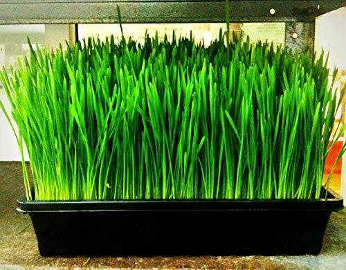 227 Gramm/Samen: Weizen, Quecke, catgrass, Katzengras, 1 oz oder 1/2 lb oder 1...
