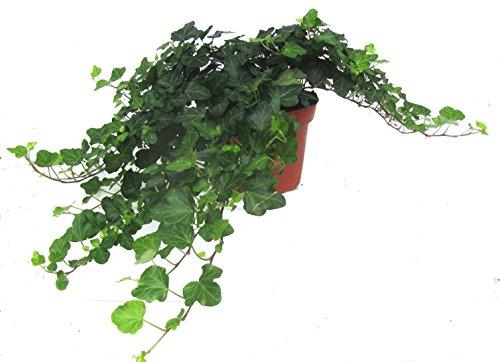 Hedera helix 'Wonder'- Efeu - echte Pflanze im 13 cm Topf als Hängepflanze,...