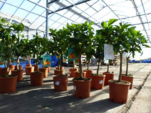 Citrus Sinensis Stamm Orangenbaum 90-110 cm Zitrus Orange Obstbaum mit Früchten