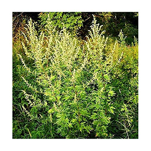 Einjähriger Beifuß - Qing Hao - Sweet Wormwood - Artemisia annua - 1...
