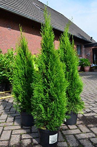 Smaragd Lebensbaum Thuja occidentalis Smaragd 100 - 125 cm hoch im 5 Liter...