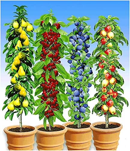 BALDUR Garten Säulen-Obst-Kollektion Birne, Kirsche, Pflaume & Apfel, 4...